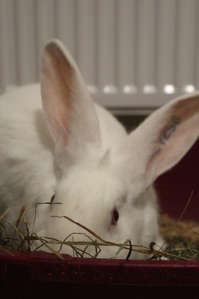 [ADOPTE] Dexter, lapin réhabilité de laboratoire 29572210