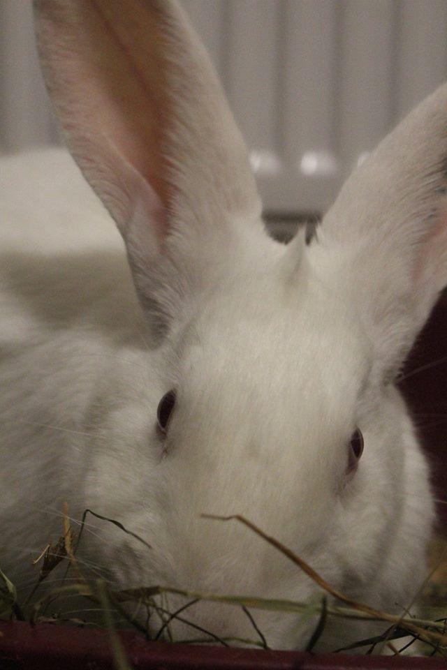 [ADOPTE] Dexter, lapin réhabilité de laboratoire 29572810