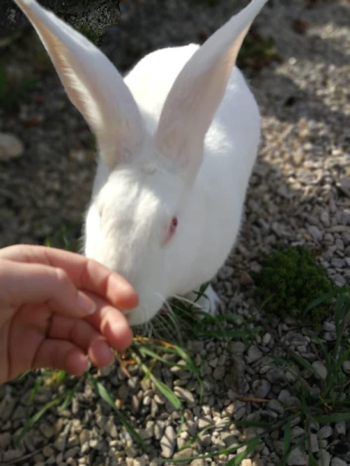 [ADOPTEE] Ebène, lapine réhabilitée de laboratoire 31299610