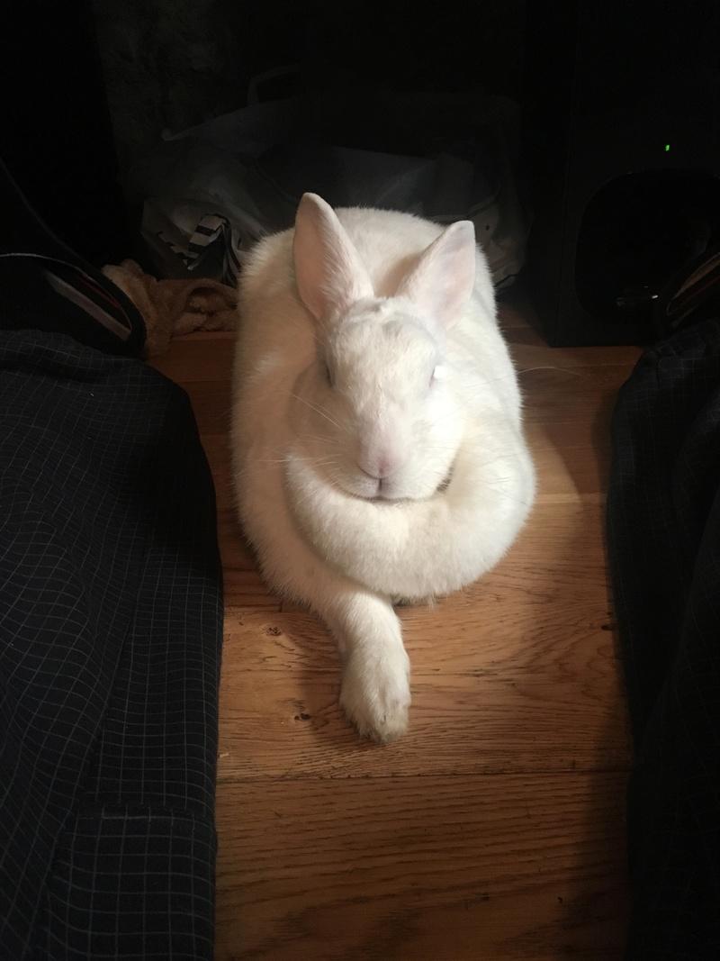 [ADOPTEE] Falka, lapine réhabilitée de laboratoire 31807610