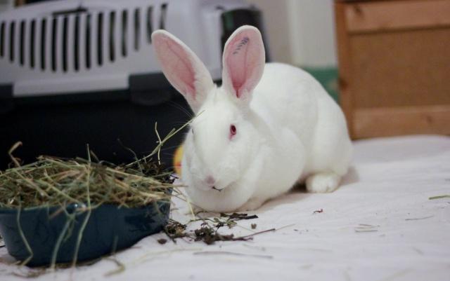 [ADOPTEE] Holly, lapine réhabilitée de laboratoire 32941410