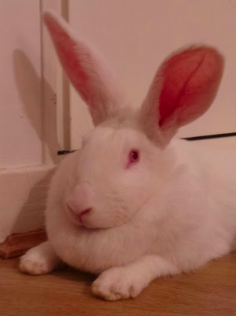 [ADOPTEE] Goji, lapine réhabilitée de laboratoire 47408410