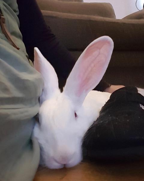 [ADOPTEE] Gaïa, lapine réhabilitée de laboratoire 52259110