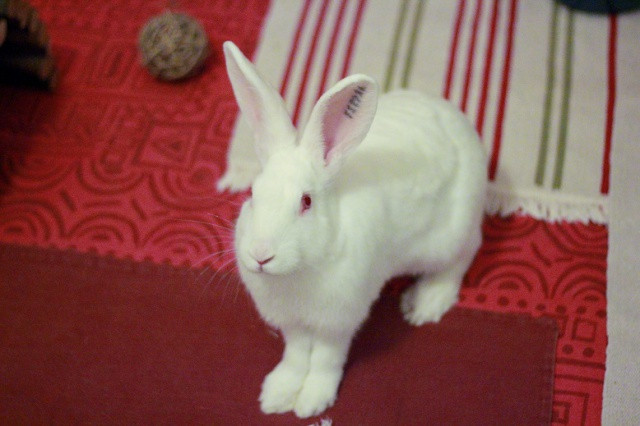 [A PARRAINER] Inoki, lapin réhabilité de laboratoire 59214510