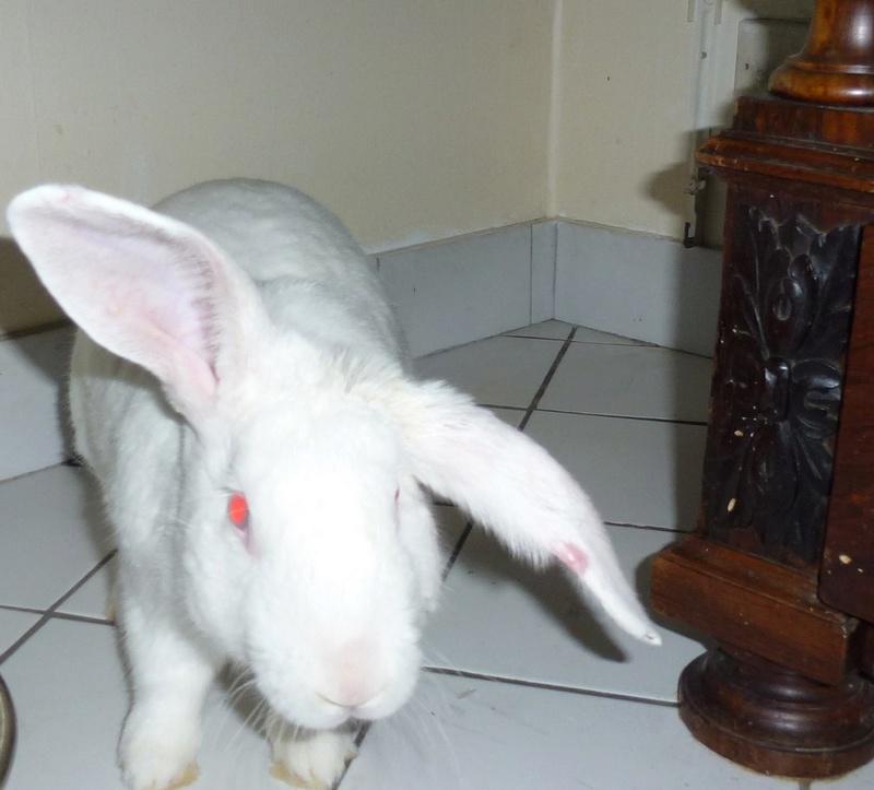[ADOPTE] Elios, lapin réhabilité de laboratoire 60527010