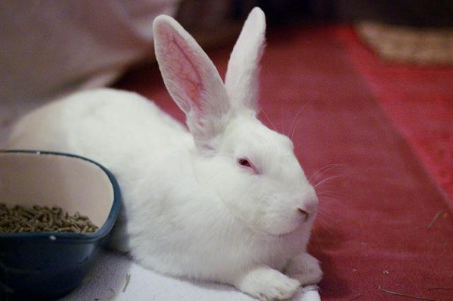[A PARRAINER] Inoki, lapin réhabilité de laboratoire 66871710