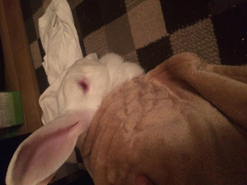 [ADOPTEE] Falka, lapine réhabilitée de laboratoire 69085810