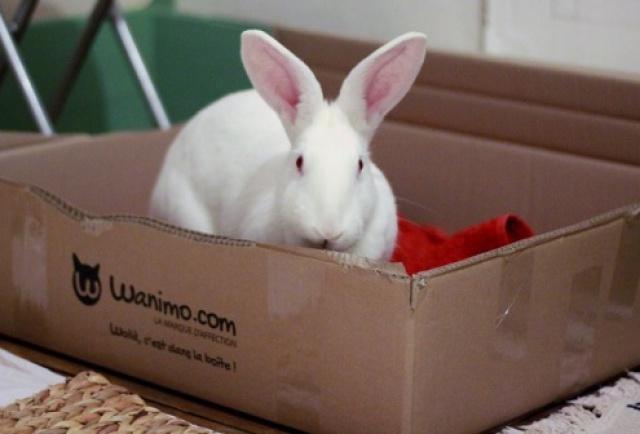 [ADOPTEE] Holly, lapine réhabilitée de laboratoire 77347610