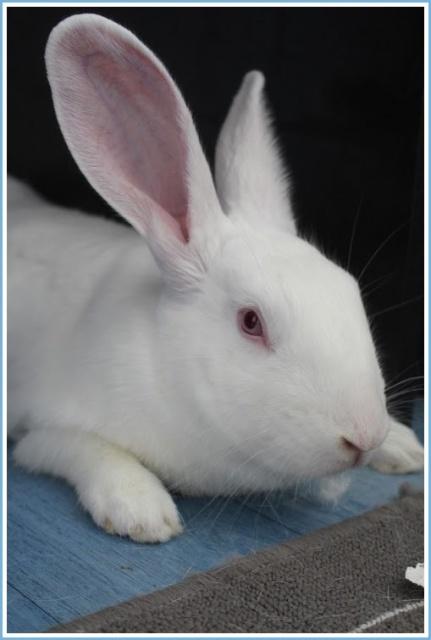 [ADOPTE] Dexter, lapin réhabilité de laboratoire 83224210