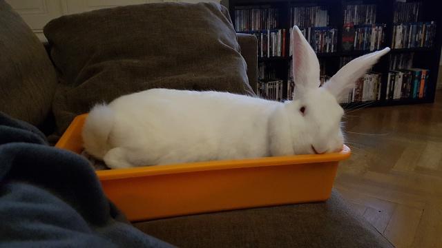 [ADOPTEE] Gaïa, lapine réhabilitée de laboratoire 83319610