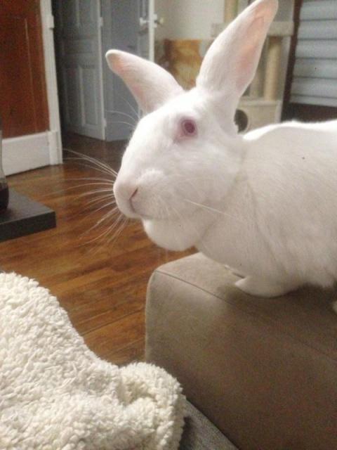 [ADOPTEE] Ebène, lapine réhabilitée de laboratoire 84054310