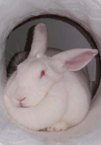 [ADOPTEE] Goji, lapine réhabilitée de laboratoire 85783710