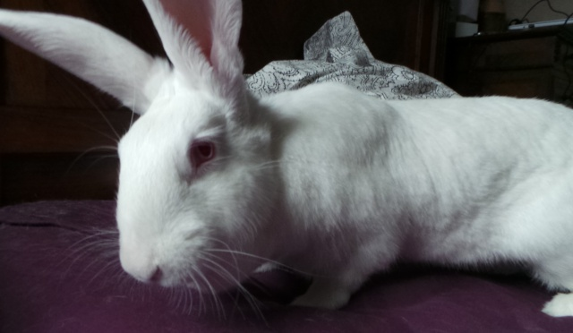 [ADOPTEE] Hermione, lapine réhabilitée de laboratoire 90996412