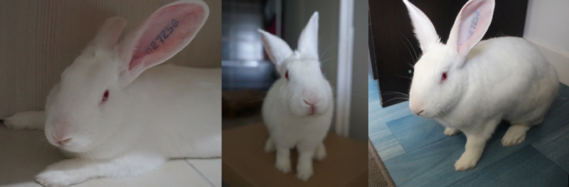 [ADOPTE] Dexter, lapin réhabilité de laboratoire 92895810