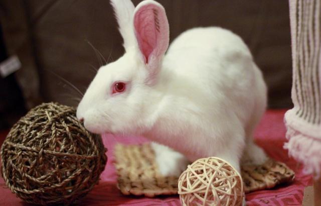 [A PARRAINER] Inoki, lapin réhabilité de laboratoire 93656910