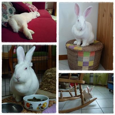[ADOPTEE] Holly, lapine réhabilitée de laboratoire 94507110