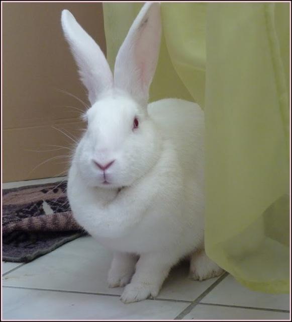 [ADOPTEE] Holly, lapine réhabilitée de laboratoire 96168310