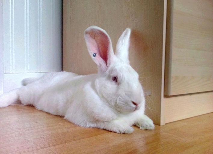 [ADOPTE] Eclair, lapin réhabilité de laboratoire 97817810