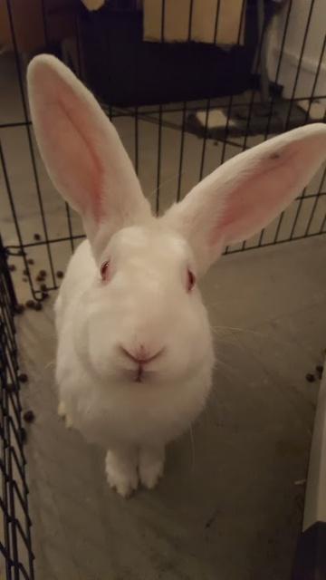 [ADOPTE] Iago, lapin réhabilité de laboratoire 98715411