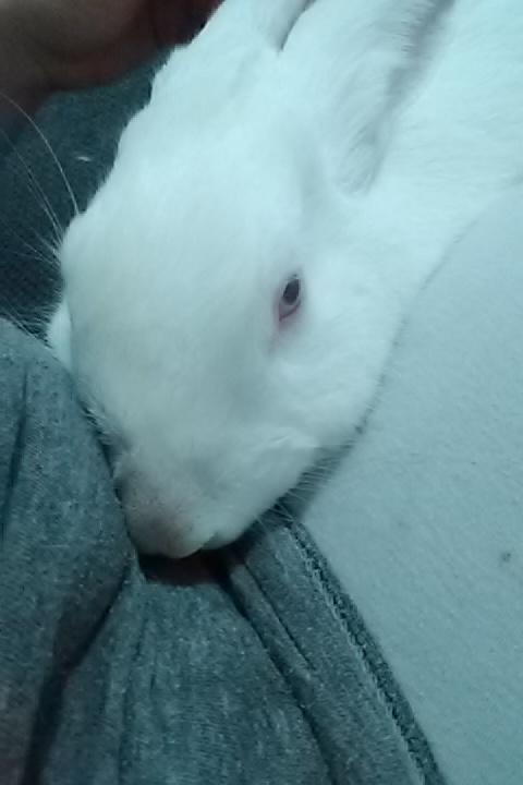 [ADOPTE] Dexter, lapin réhabilité de laboratoire Dex10
