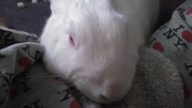 [ADOPTE] Dexter, lapin réhabilité de laboratoire Dexpar10