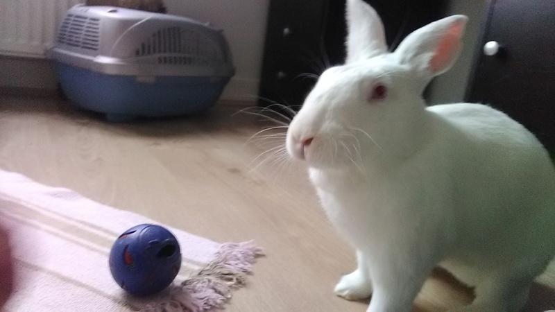 [ADOPTEE] Eléa, lapine réhabilitée de laboratoire Elea410