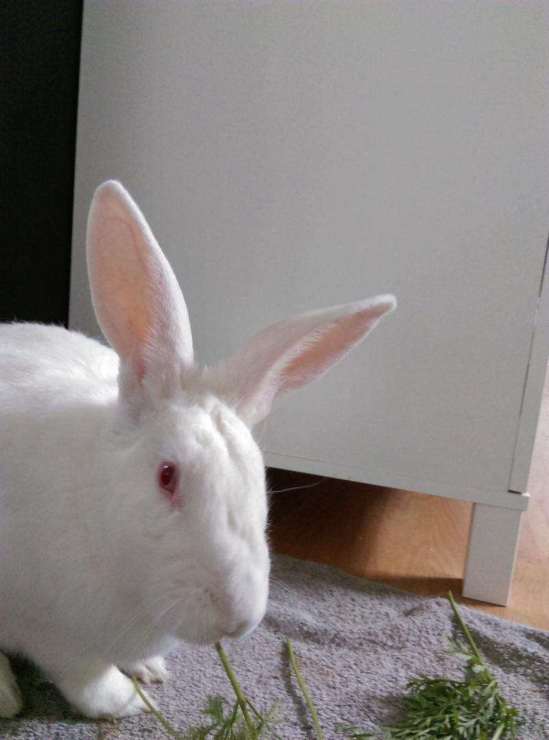 [ADOPTE] Elvis, lapin réhabilité de laboratoire Elvisi10