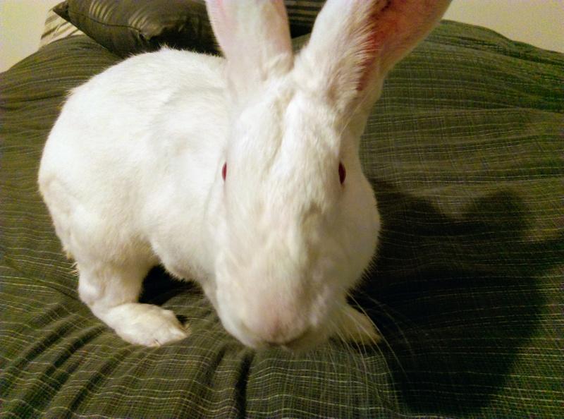 [ADOPTE] Elvis, lapin réhabilité de laboratoire Elvisi11