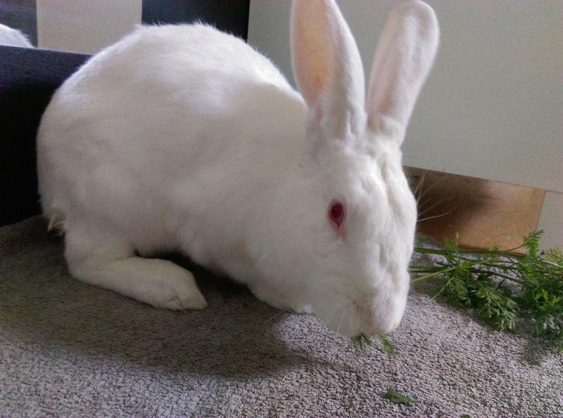 [ADOPTE] Elvis, lapin réhabilité de laboratoire Elvisi13