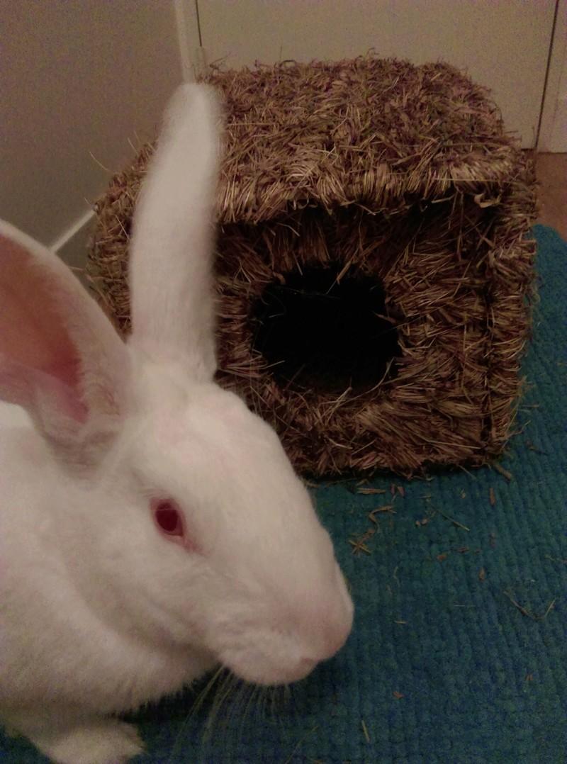 [ADOPTE] Elvis, lapin réhabilité de laboratoire Elvisi16