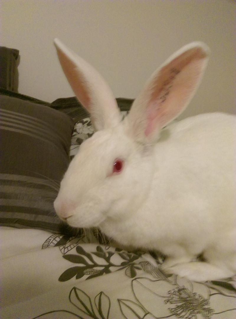 [ADOPTE] Elvis, lapin réhabilité de laboratoire Elvisi17