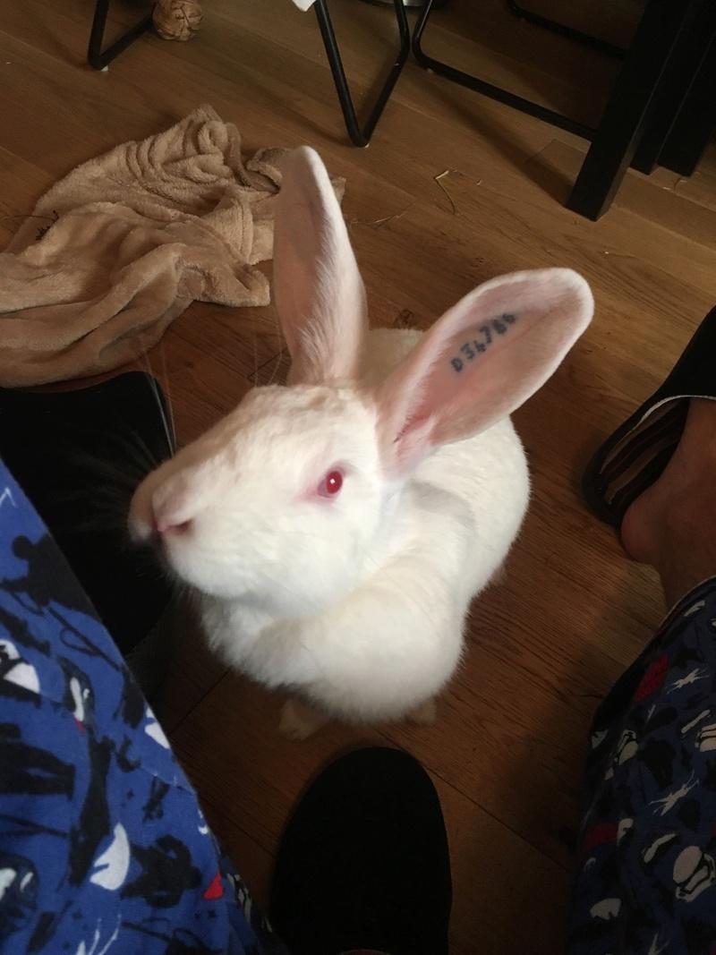 [ADOPTEE] Falka, lapine réhabilitée de laboratoire Falka10