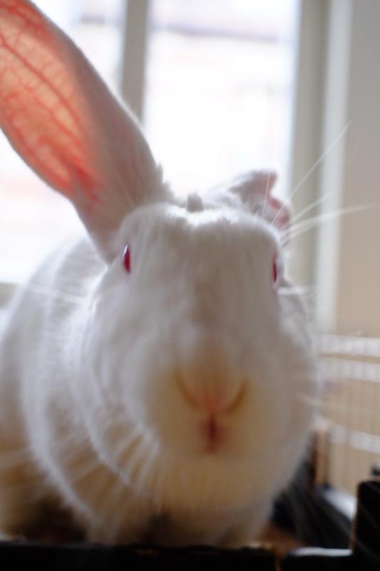 [ADOPTEE] Gaïa, lapine réhabilitée de laboratoire Gaia2010