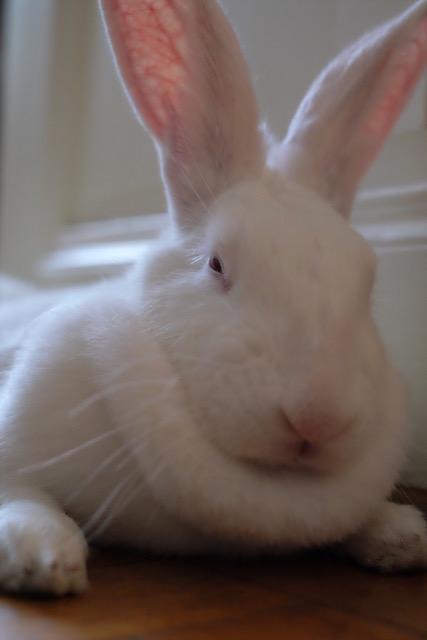 [ADOPTEE] Gaïa, lapine réhabilitée de laboratoire Gaia2013