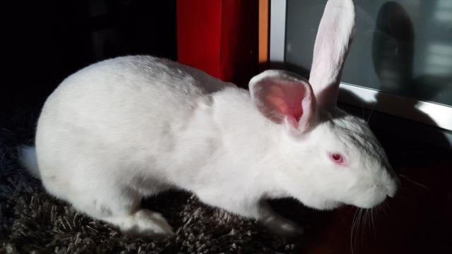 [ADOPTEE] Gaïa, lapine réhabilitée de laboratoire Gaia2014
