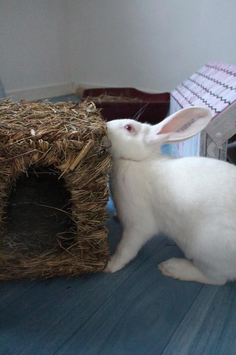 [ADOPTE] Dexter, lapin réhabilité de laboratoire Img_2910