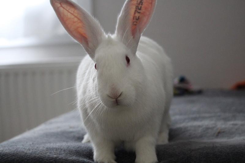 [ADOPTE] Dexter, lapin réhabilité de laboratoire Img_3510