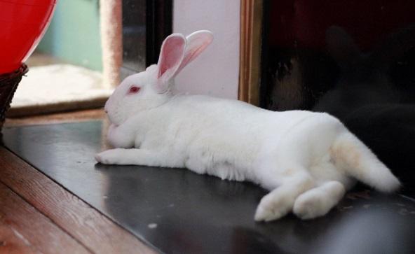 [ADOPTEE] Era, lapine réhabilitée de laboratoire Img_7610