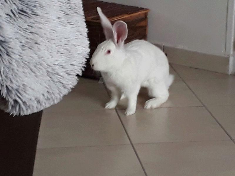 [ADOPTEE] Hope, lapine réhabilitée de laboratoire Luciai12