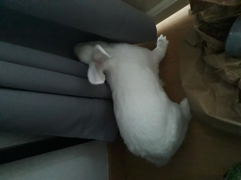 [ADOPTEE] Mara, lapine réhabilitée de laboratoire Mara2011