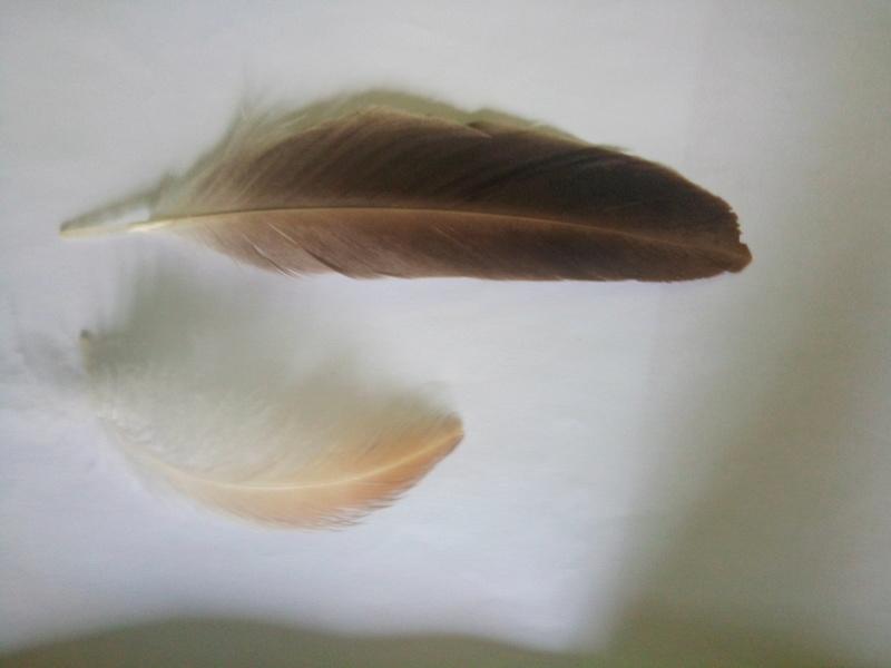 Quel vautour pour ces plumes ? Img_2012