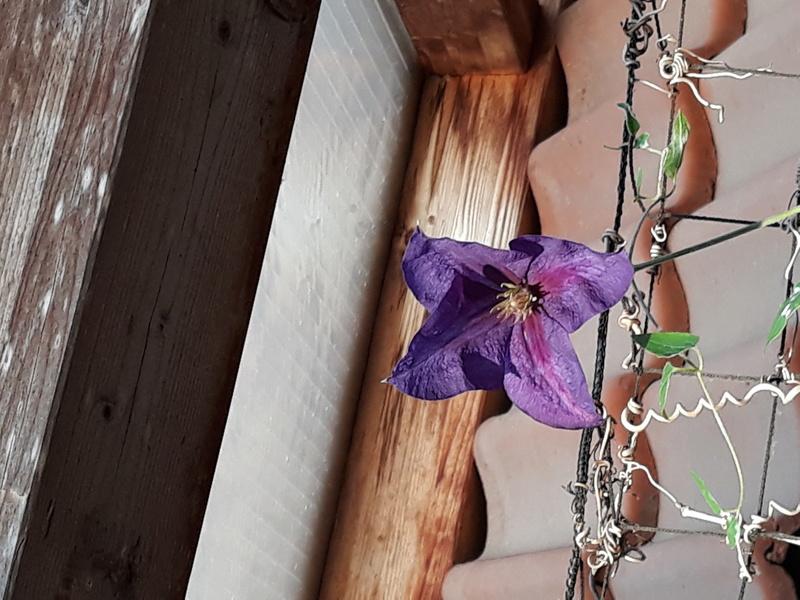 Hahnenfußgewächse (Ranunculaceae) - Winterlinge, Adonisröschen, Trollblumen, Anemonen, Clematis, uvm. - Seite 9 27_11_10