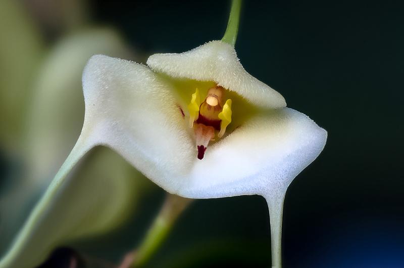 Miniatur-Orchideen Teil 3 - Seite 41 078e2310