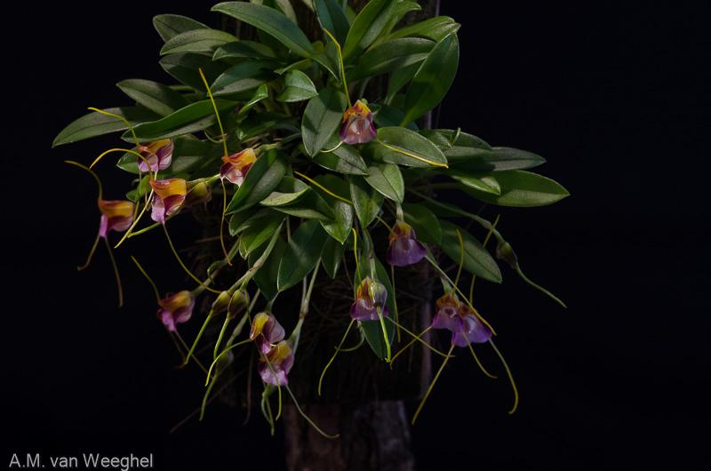 Miniatur-Orchideen Teil 3 - Seite 41 4b6e2f10