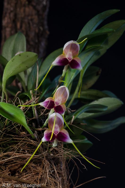 Miniatur-Orchideen Teil 3 - Seite 41 727c8d10