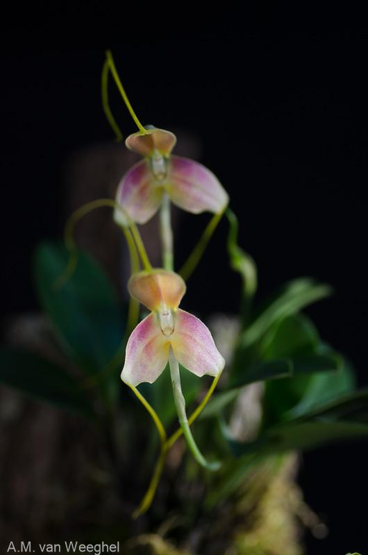 Miniatur-Orchideen Teil 3 - Seite 43 7883c010