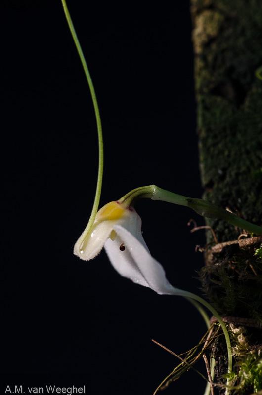 Miniatur-Orchideen Teil 3 - Seite 41 78e4ad10