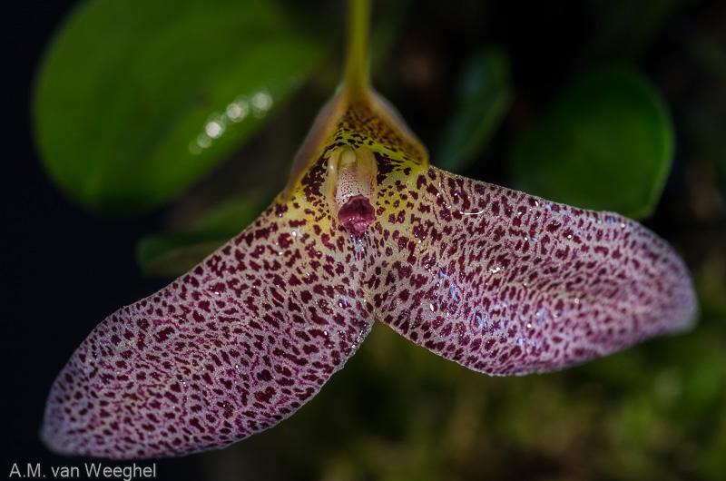 Miniatur-Orchideen Teil 3 - Seite 42 8158a010