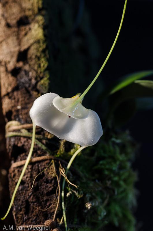 Miniatur-Orchideen Teil 3 - Seite 41 8a461410