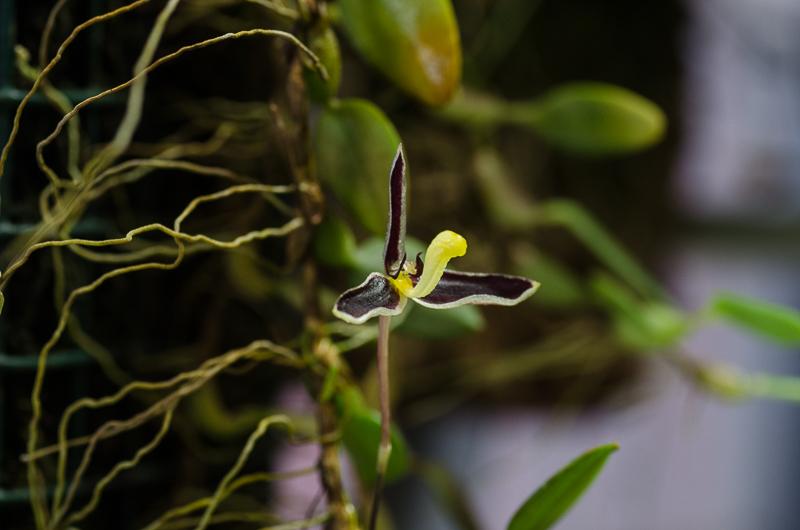 Miniatur-Orchideen Teil 3 - Seite 41 8ebae210